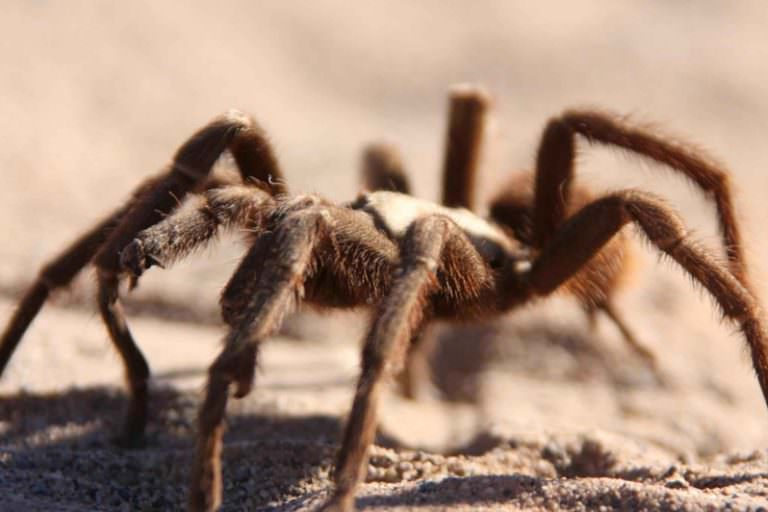 Transborder Immigrant Tool Series: If Tarantulas 'Cross Your Path' in the Desert, Live and Let Live