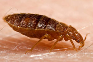 Don't Let the Bed Bugs Bite (Update)