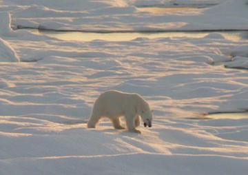 Melting Sea Ice Means Shortage of Bear Necessities