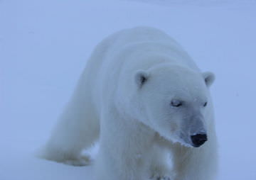 Polar Bears Weakened by Pollution as Well as Warmth