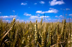 Climate Shift Has Cut Global Wheat Crops, Study Finds