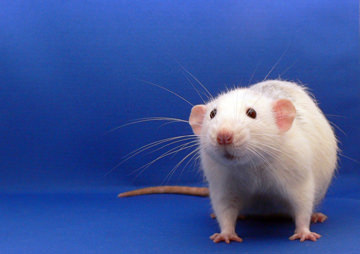 Rats Regret Their Decisions, Study Finds