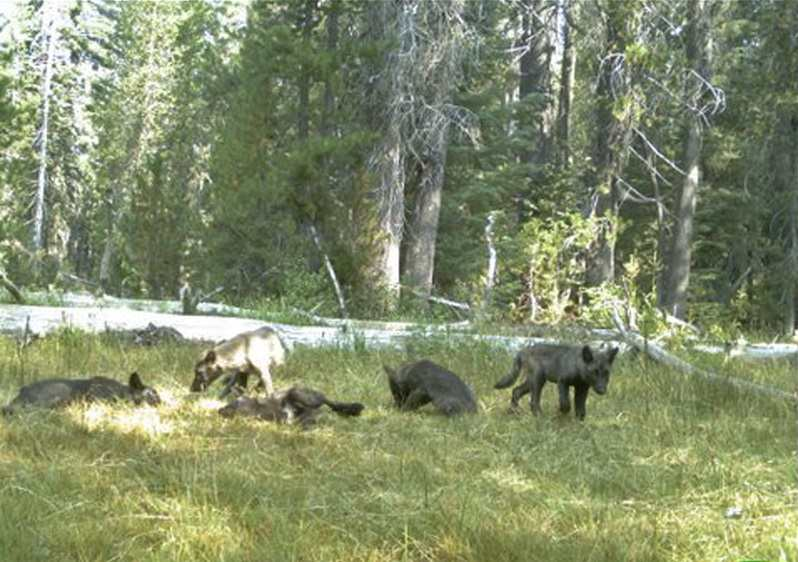 Wolf Pack Found in California for First Time in Almost 100 Years