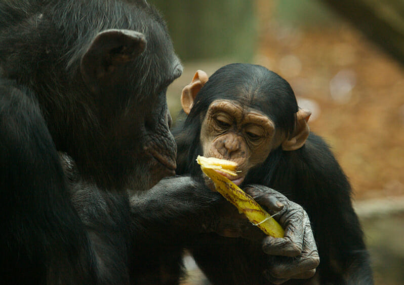 Could Chimps' Food Help Us Cure Human Diseases?