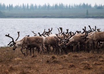 Anthrax Strikes Wildlife in Rapidly Thawing Arctic