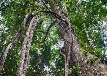 The Effort to Restore Tropical Forests Gets a Massive Cutting Edge