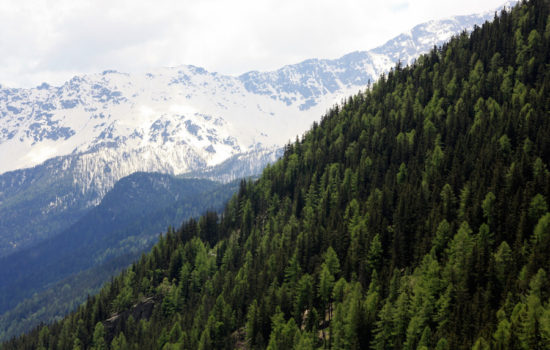 Swiss Trees in Danger of Dying Out as Climate Warms