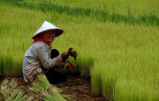 Global Warming Grows Less Nutritious Rice