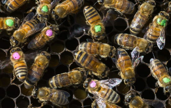 Scientists Say Monsanto Weed Killer Contributes to Honeybee Deaths