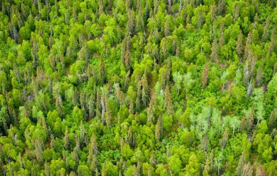 Scientists Look to Young Forests to Absorb Carbon Emissions